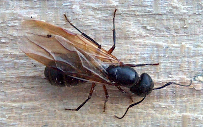 carpenter ant control carpenter ant treatments how to