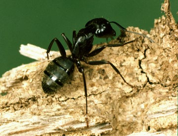 Understanding Carpenter Ants