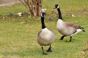 "alt=""Canada Geese walking on grass"""