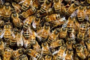 """alt=""""Group of Honey Bees resting together"""""""