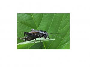 "alt=""Cricket resting on a leaf in the wilderness"""