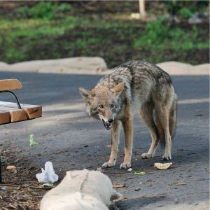 Coyote (predator) eating garbage in a park