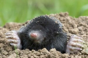 moles in ground burrow