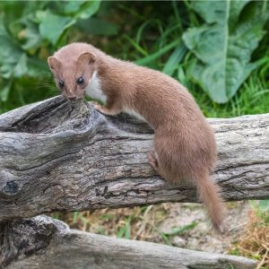 "alt=""Weasel on a log in the woods"""
