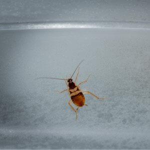 """alt=""""Brown Banded Cockroach on a grey backdrop"""""""