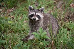 "alt="" Raccoon sitting in the grass"""