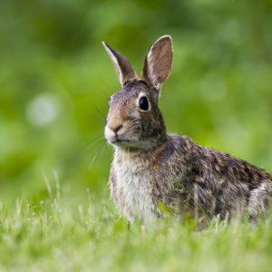 "alt=""Cottontail rabbit sitting in the grass"""