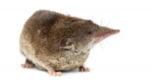 "alt=""Shrew on a white background"""